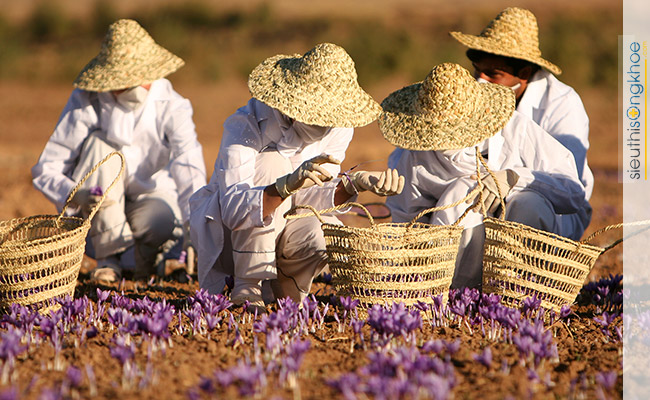 nhuy hoa nghe tay saffron viet nam