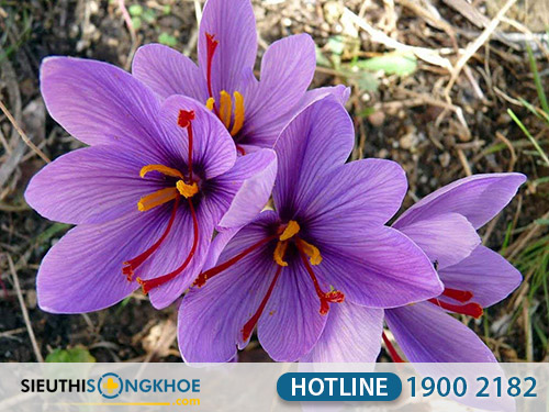thanh phan cua nhuy hoa nghe tay saffron viet nam